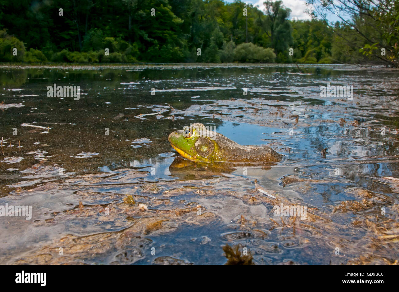 Frog in a marsh, North America Stock Photo