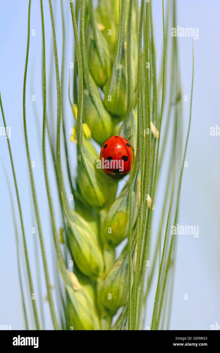 Ladybug patrolling wheat - Stock Image