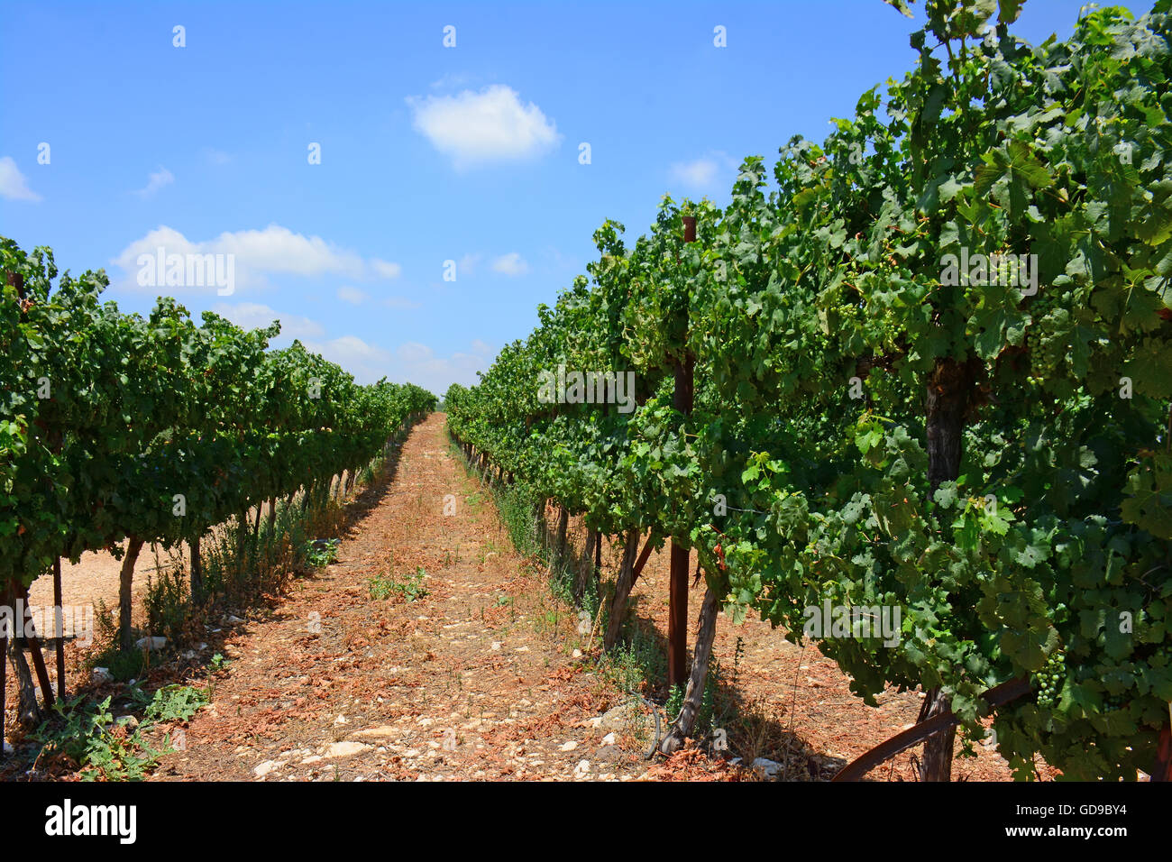 Rows of vines in a Vineyard - Stock Image