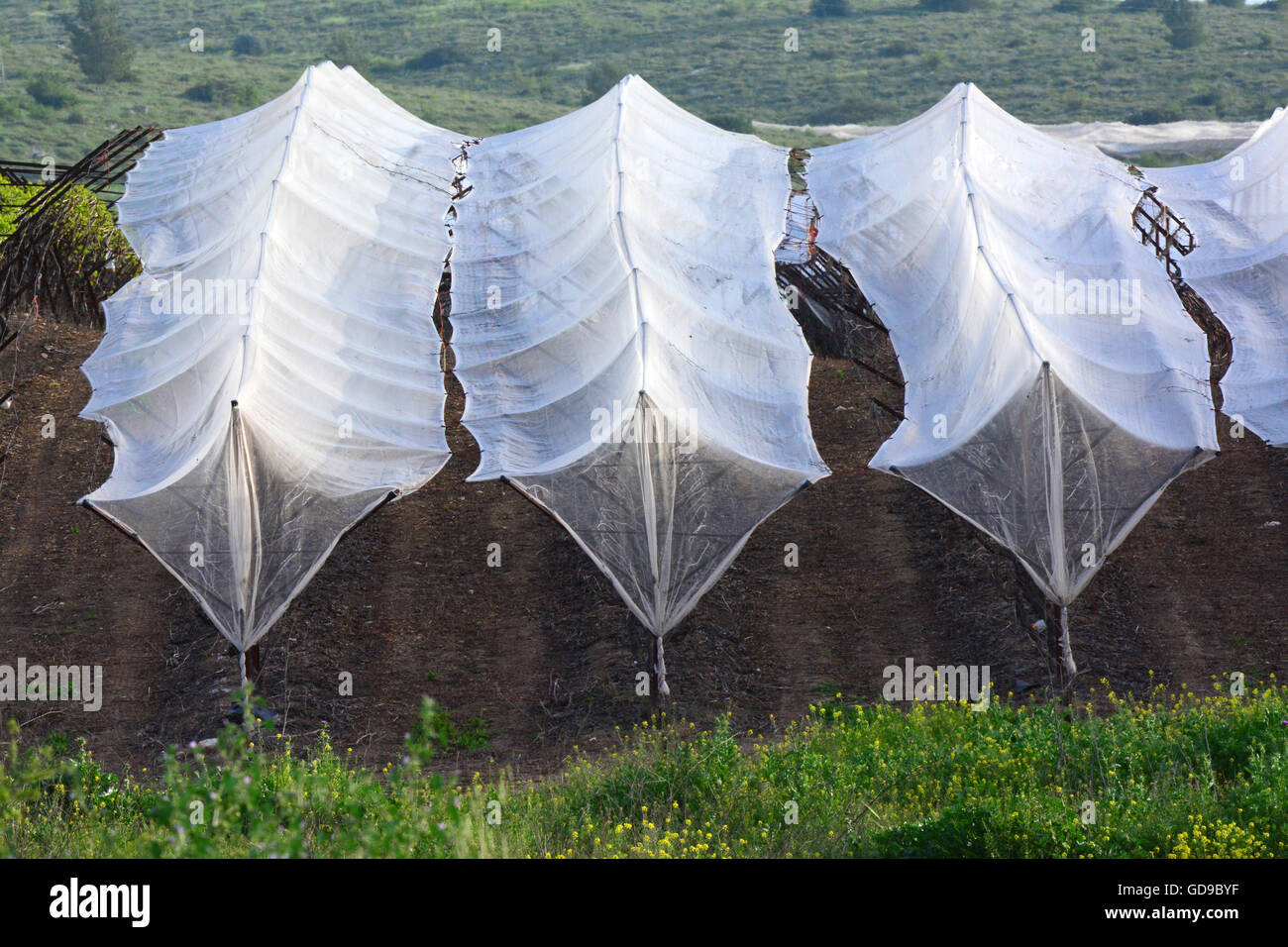 Vineyard net protection, Israel - Stock Image