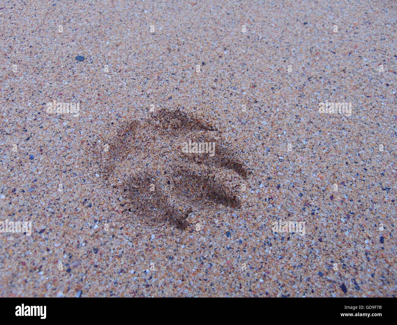 paw print in sand - Stock Image