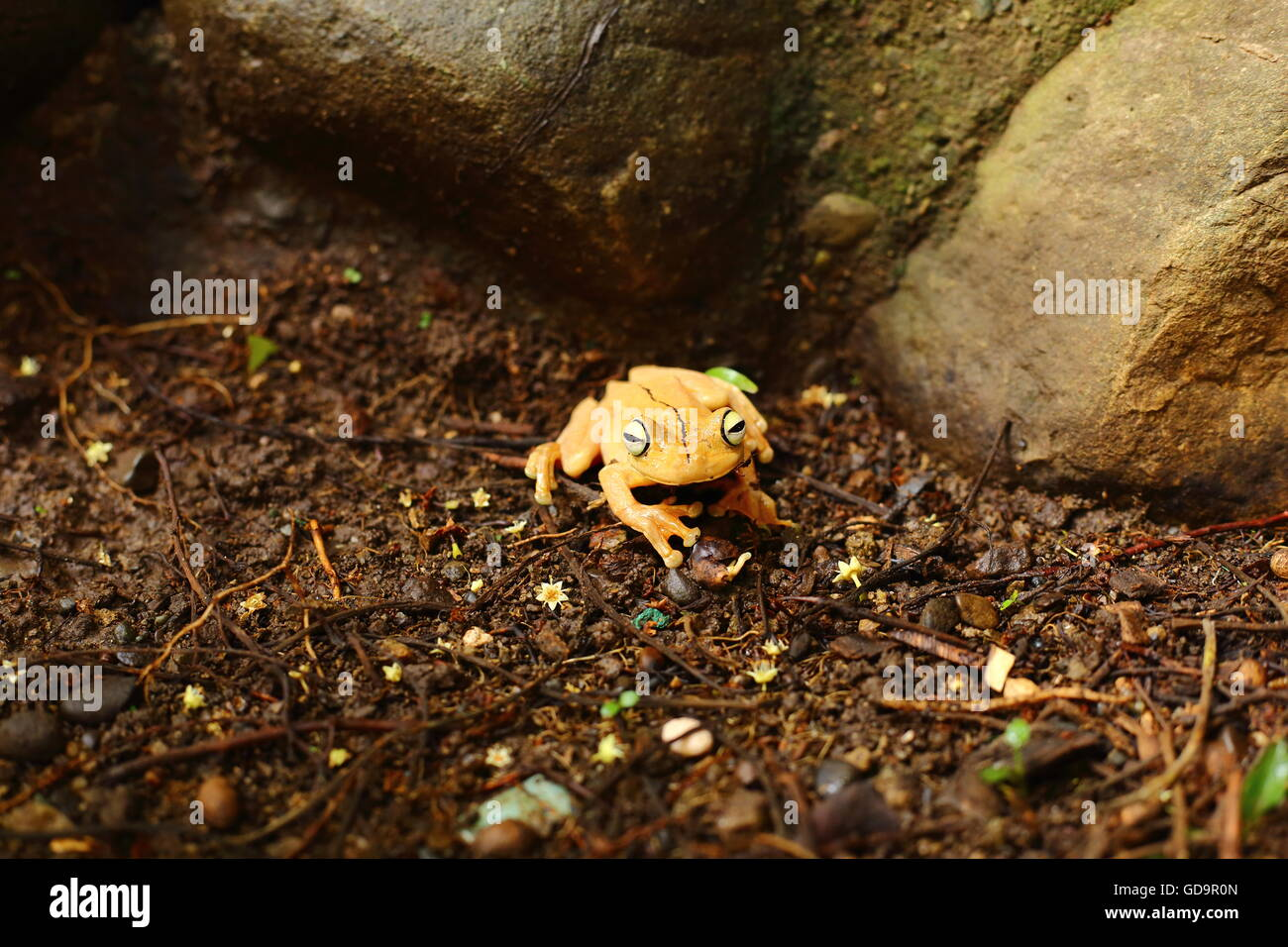 Gladiator tree frog on the jungle floor - Stock Image