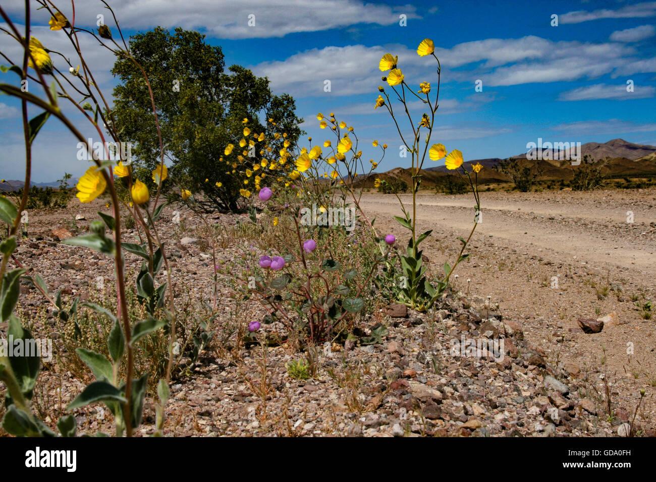 Superbloom Death Valley California - Stock Image
