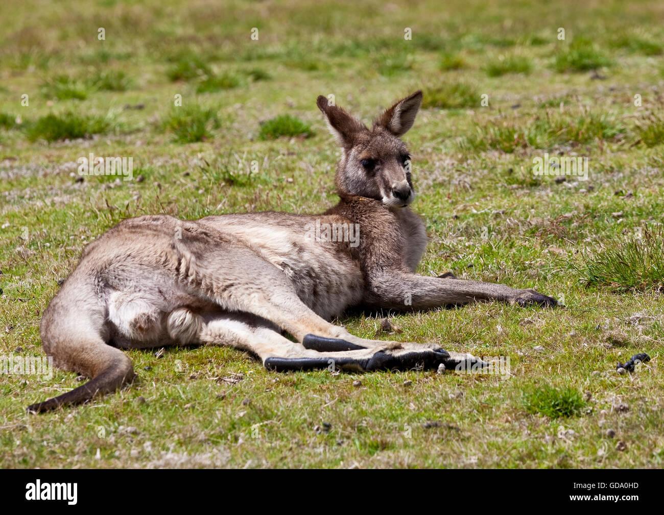 Male kangaroo lying on grass - Stock Image