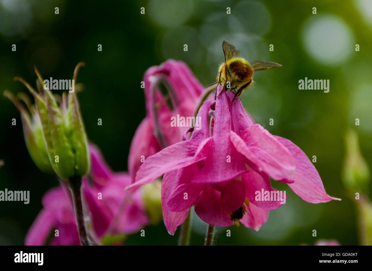 Neighborhood garden with bee getting nectar - Stock Image