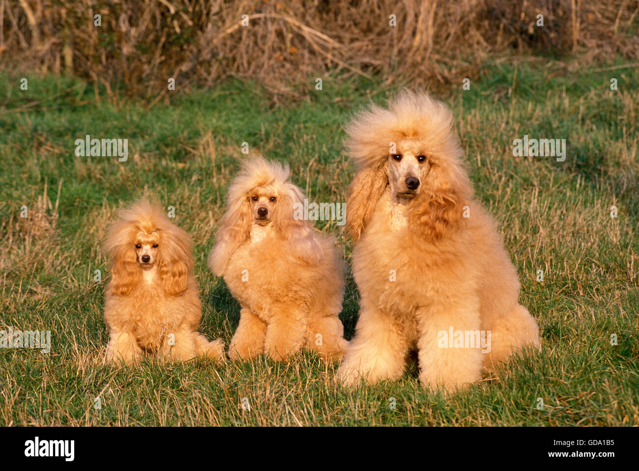 Apricot Toy, Standard and Giant Poodle sitting on Grass - Stock Image