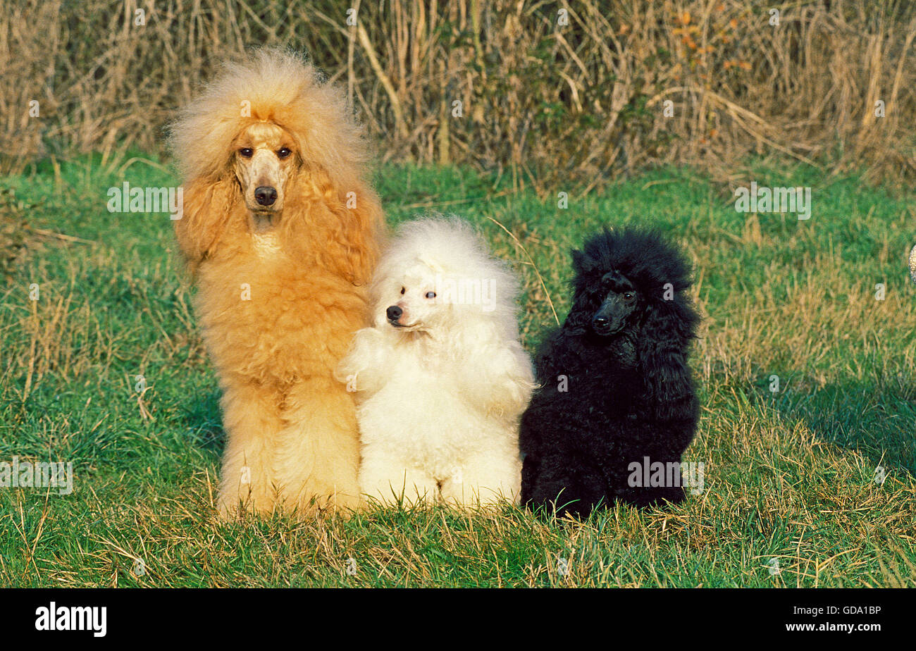 APRICOT GIANT POODLE WITH TWO BLACK AND WHITE POODLES - Stock Image