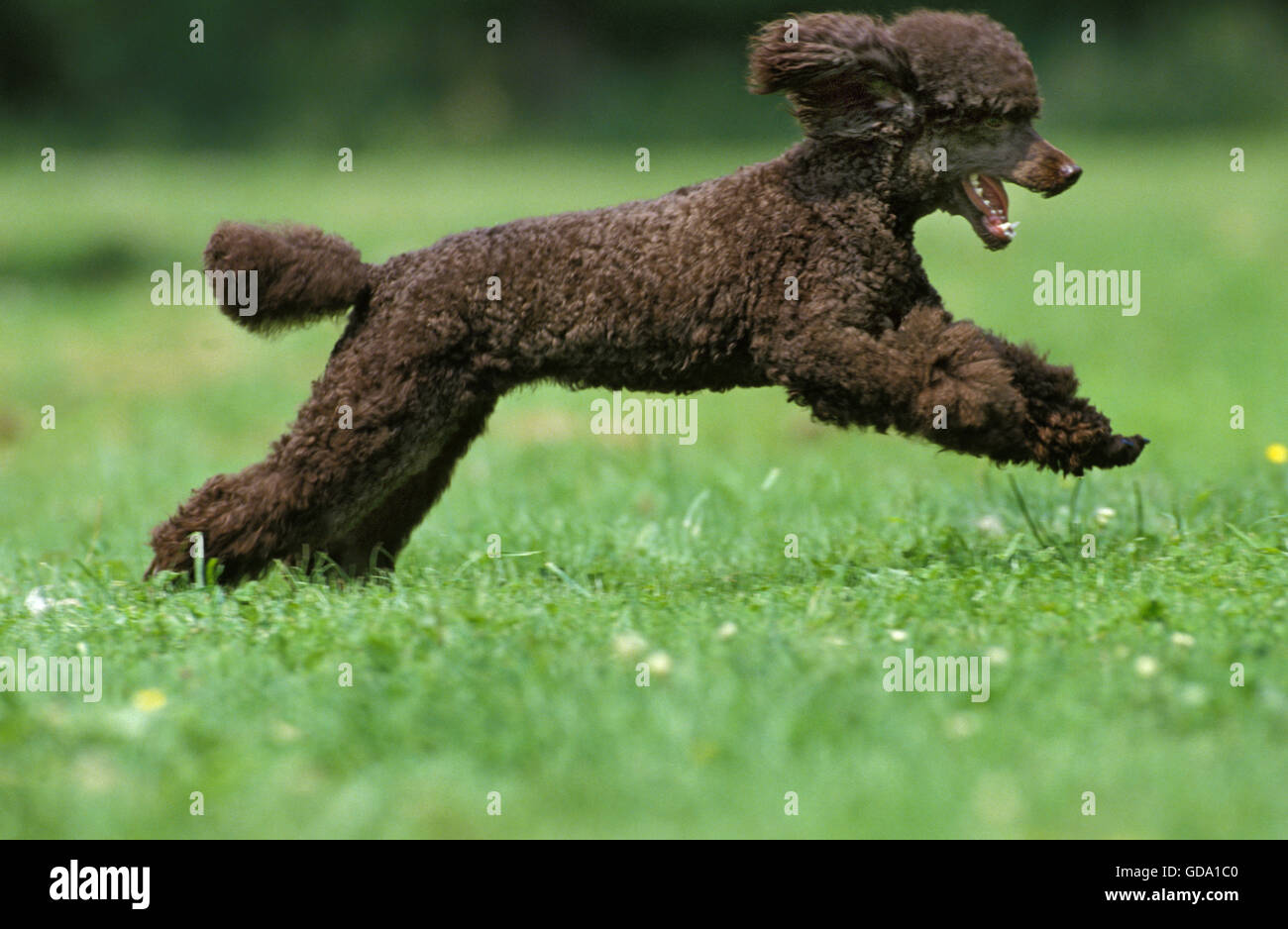 Black Miniature Poodle, Adult running on Grass - Stock Image