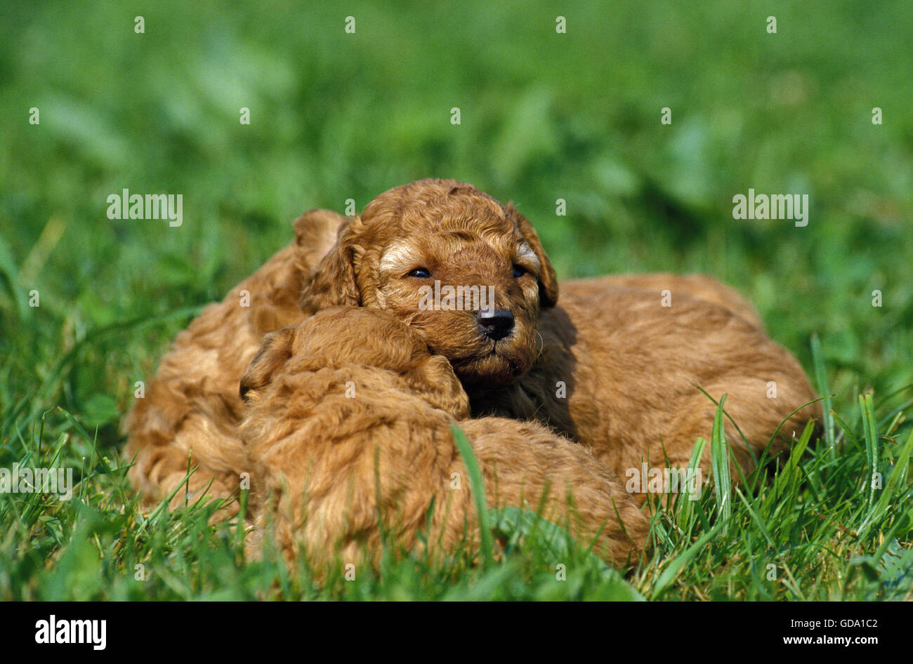Apricot Miniature Poodle Dog, Pups laying on Grass - Stock Image