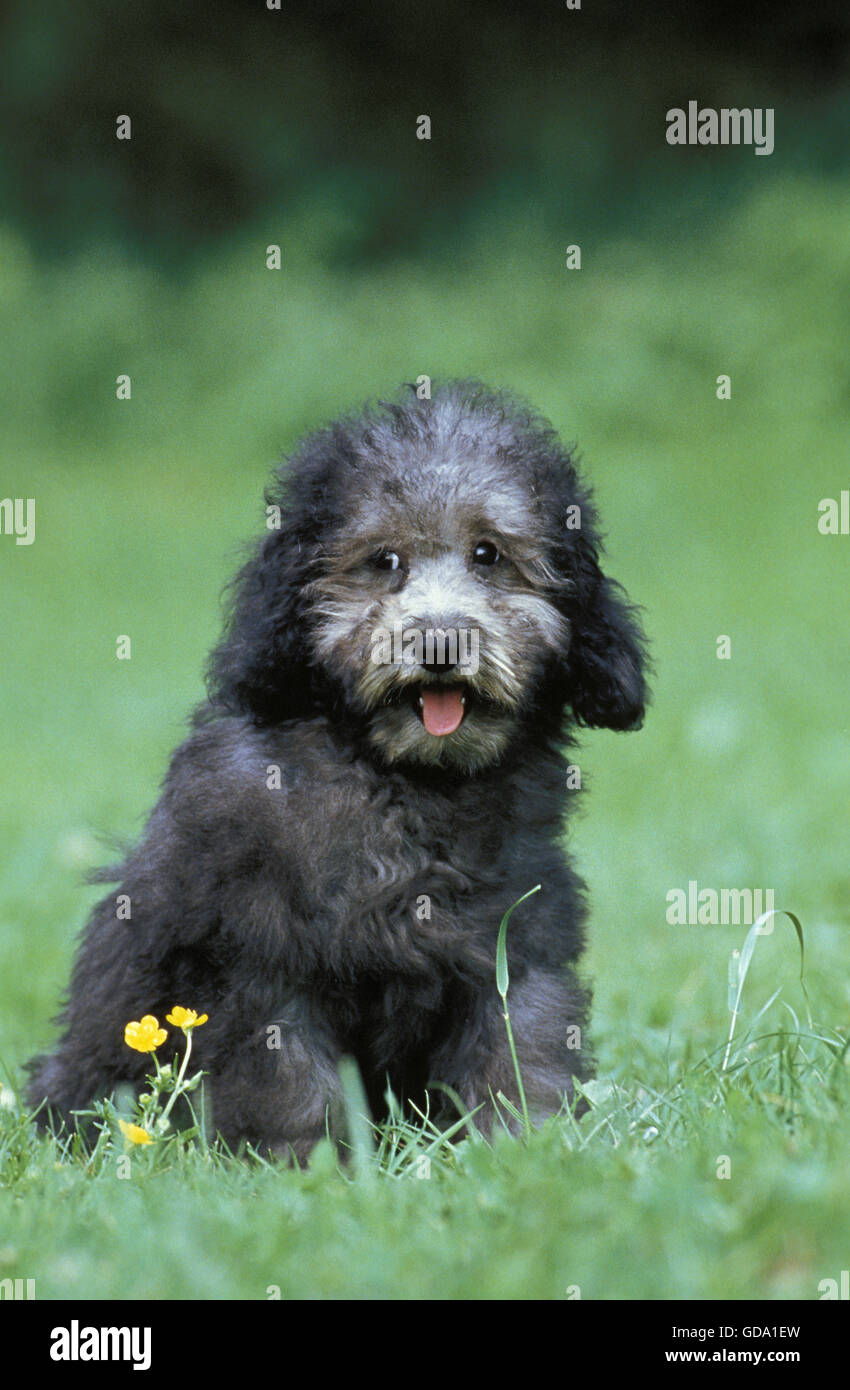Grey Miniature Poodle, Pup sitting on Grass - Stock Image