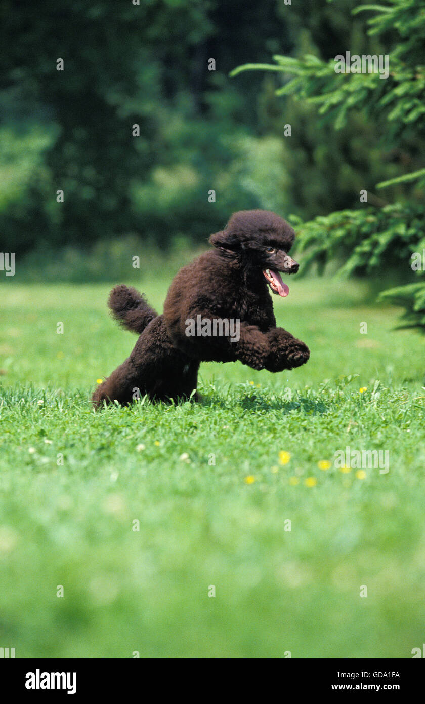 Black Miniature Poodle, Dog leaping on Lawn - Stock Image