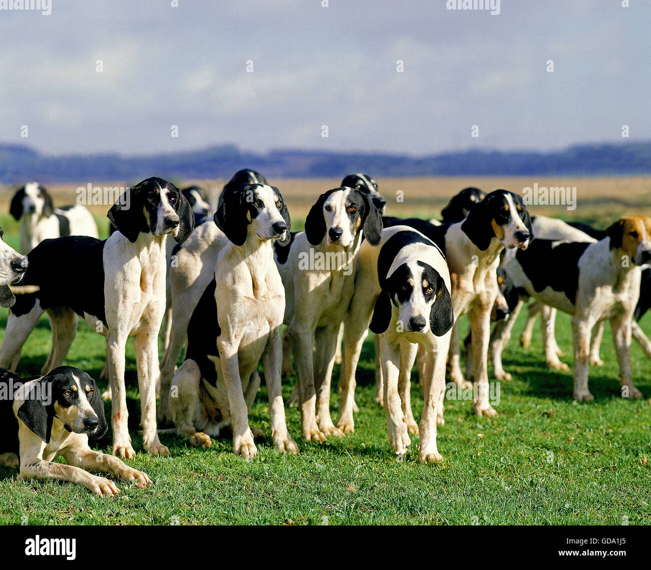 Great Anglo-French White and Black Hound, Pack for Fox hunting - Stock Image