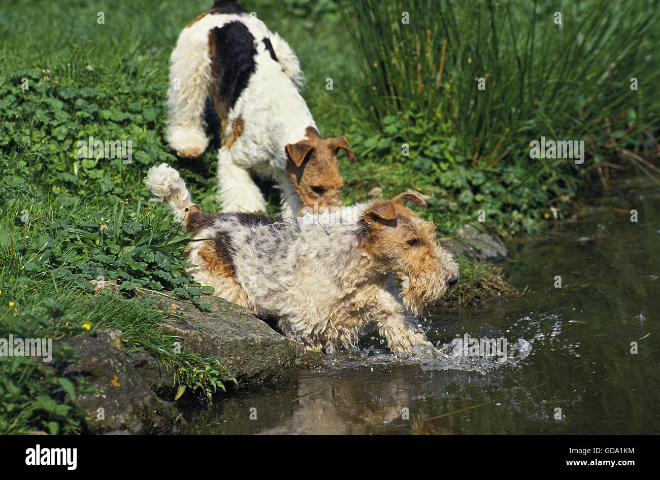 WIRE-HAIRED FOX TERRIER, ADULT ENTERING WATER - Stock Image