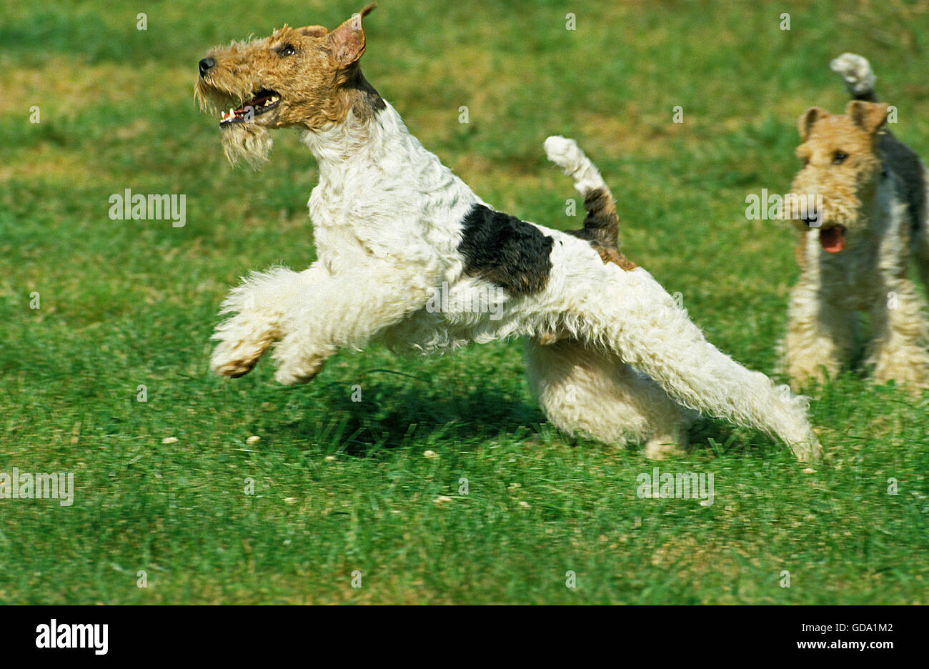Wire-Haired Fox Terrier, Male Leaping - Stock Image