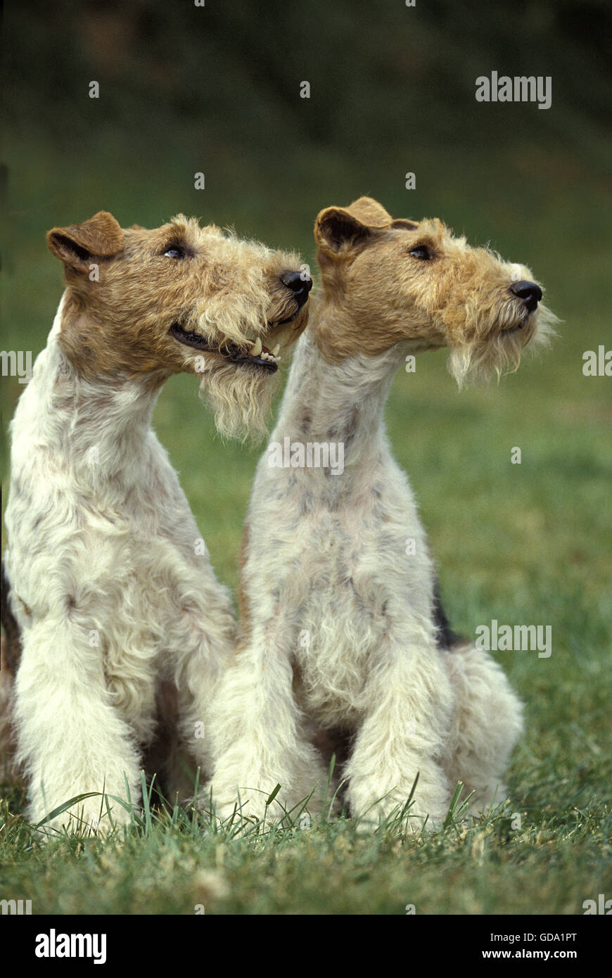 Wire-Haired Fox Terrier Dog - Stock Image