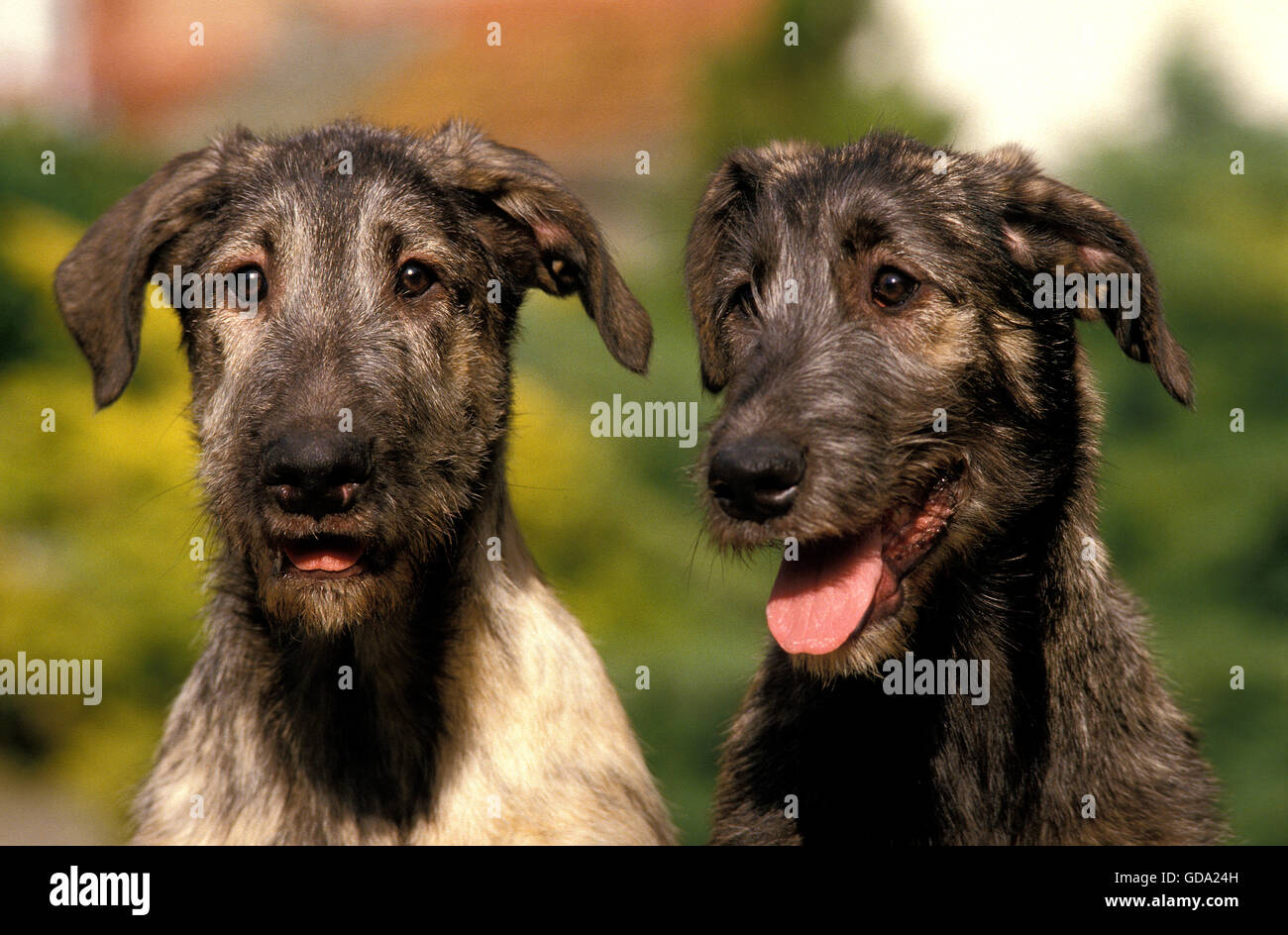 Portrait of Irish Wolfhound Dog Stock Photo