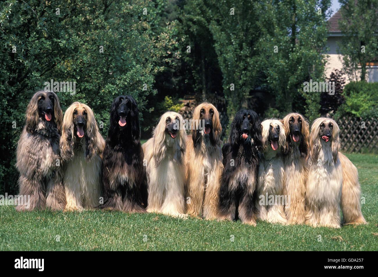 AFGHAN HOUND, GROUP ON HOUSE GARDEN Stock Photo