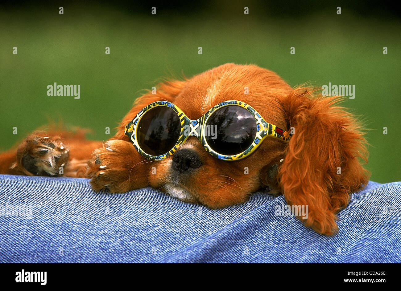 Cavalier King Charles Spaniel Pup With Sunglasses Ruby Stock Photo Alamy