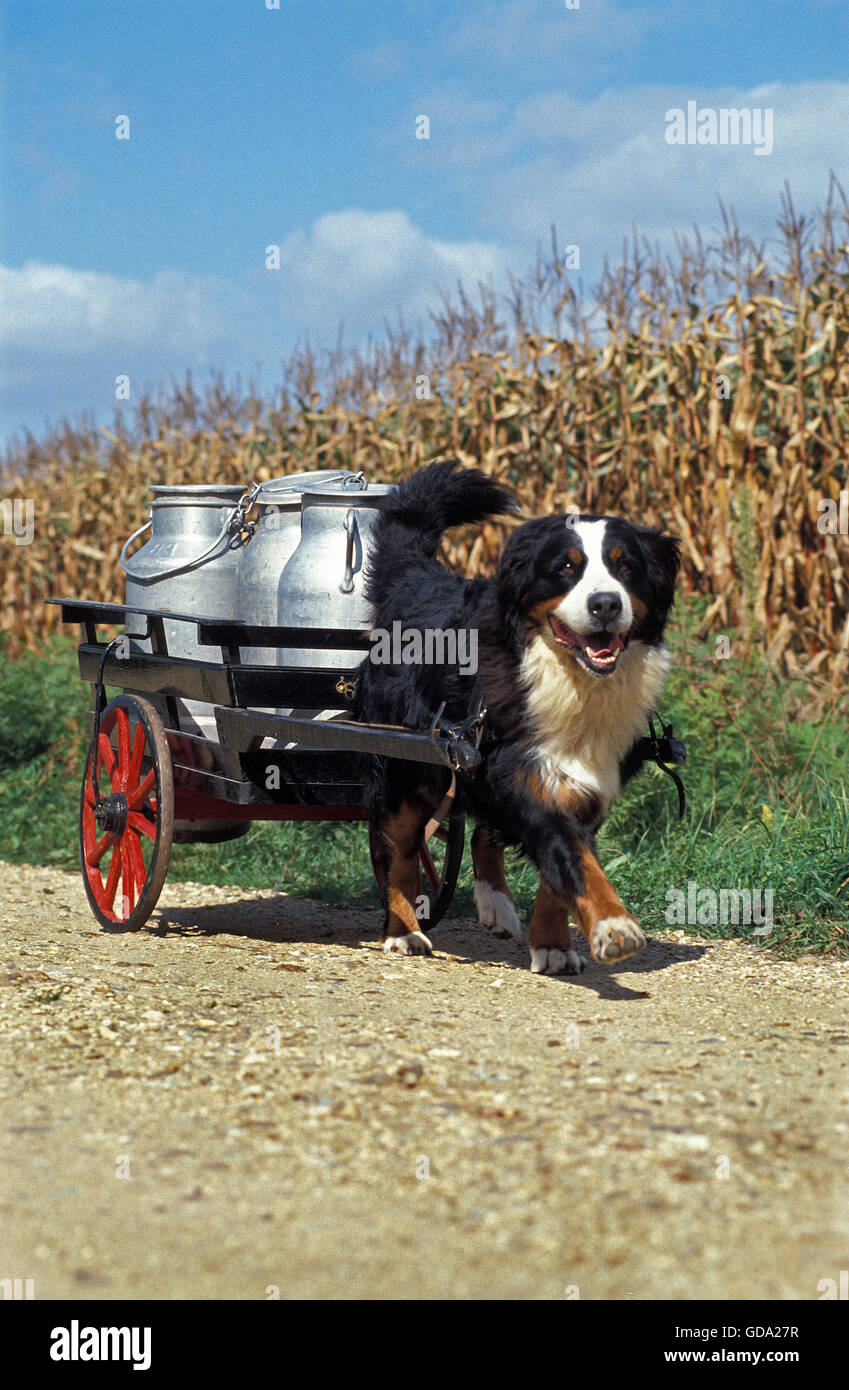 bernese mountain dog pulling a cart with milk churns GDA27R