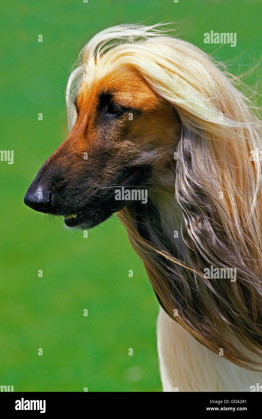 Afghan Hound, Portrait of Adult Stock Photo