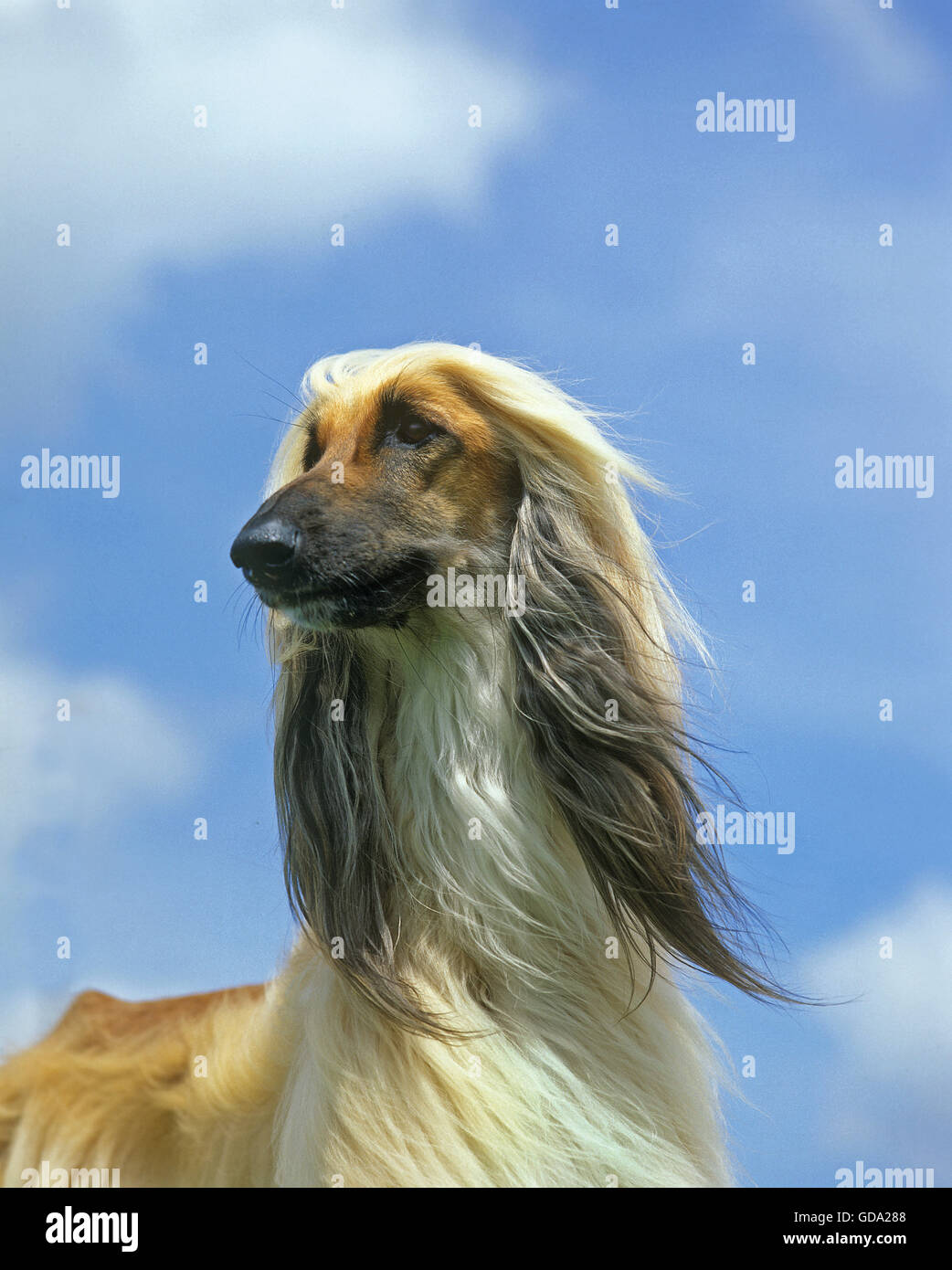 Afghan Hound, Portrait of Adult against Blue Sky Stock Photo