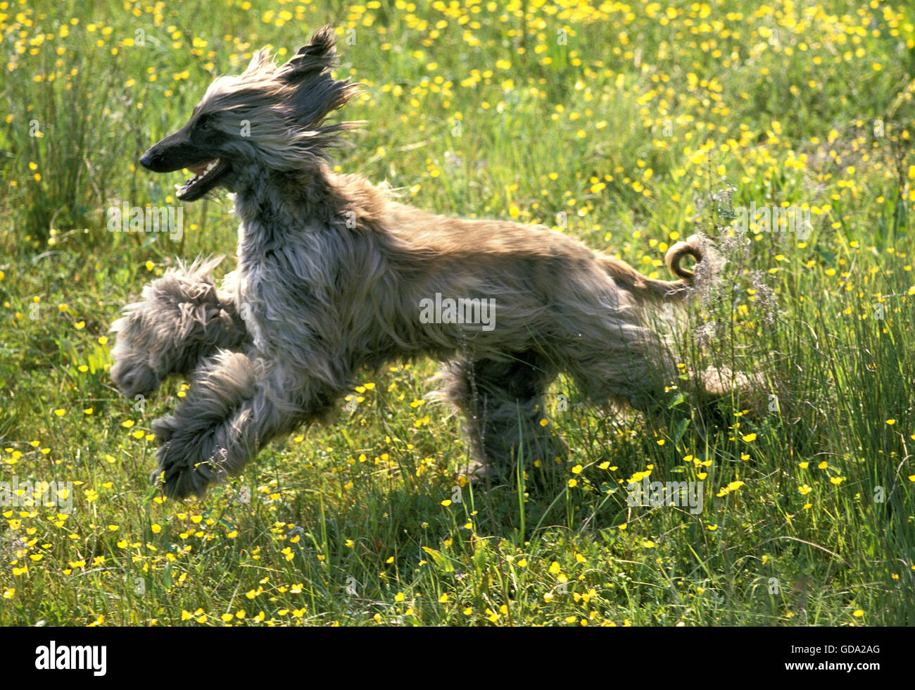Afghan Hound,  Adult running through Flowers Stock Photo