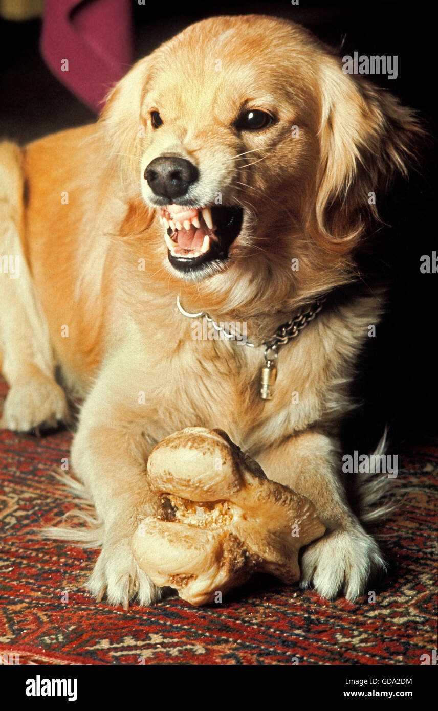 Dog with Bone, Snarling, in aggressive Posture - Stock Image