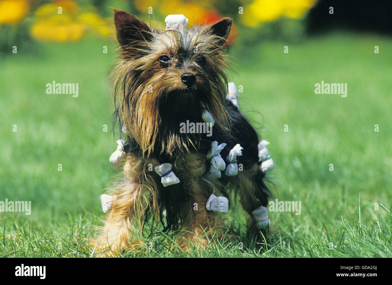 Yorkshire Terrier Grooming Stock Photo 111474290 Alamy
