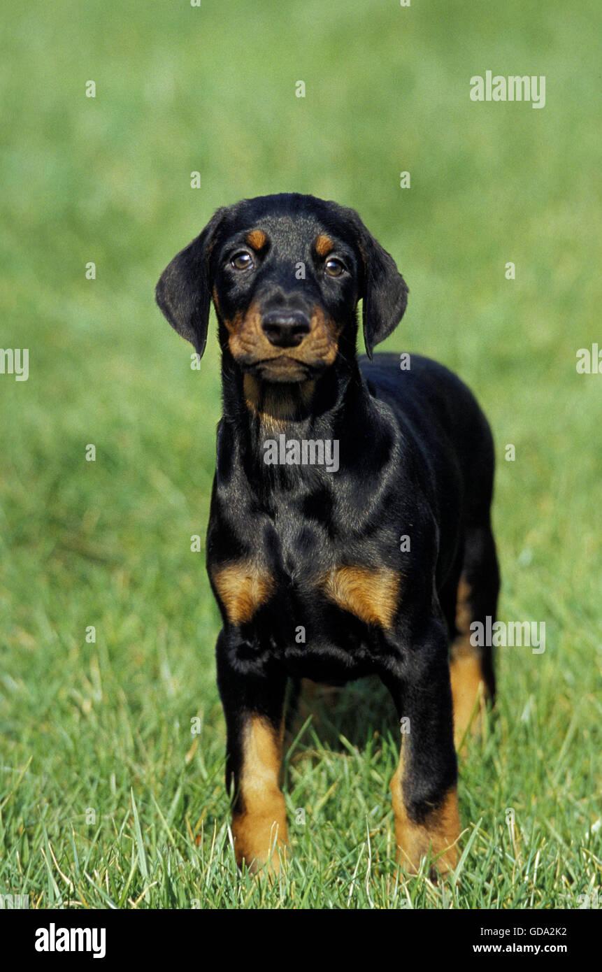 Dobermann Dog or Dobermann Pinscher, Pup on Grass - Stock Image