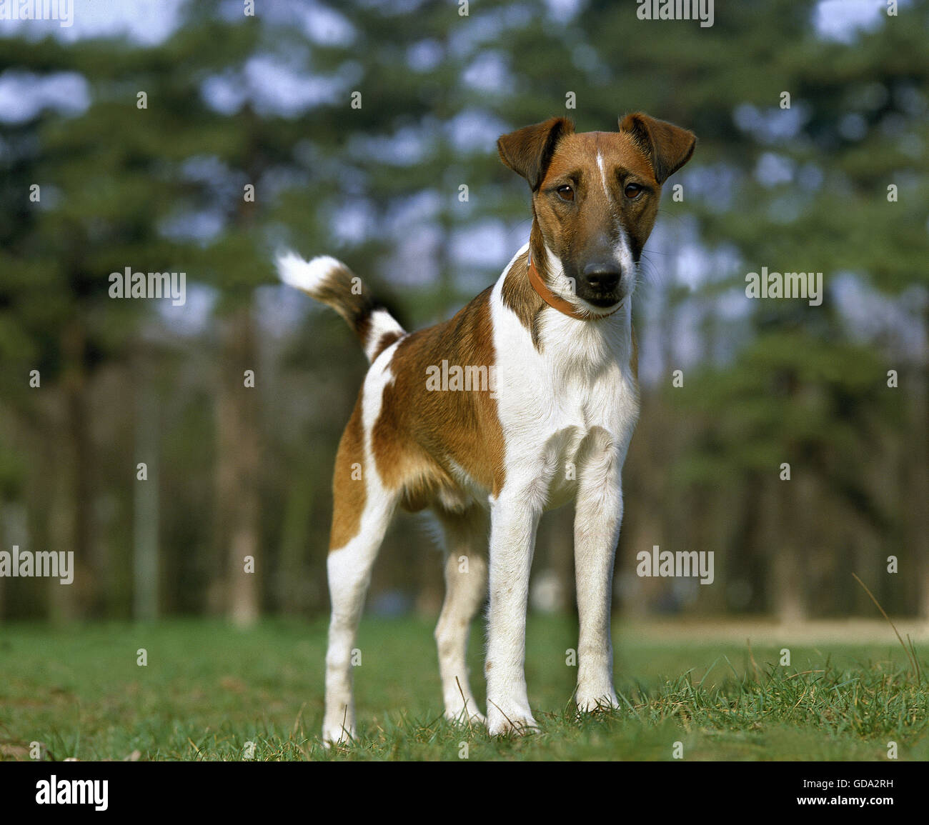 Smooth Fox Terrier Dog with Collar - Stock Image