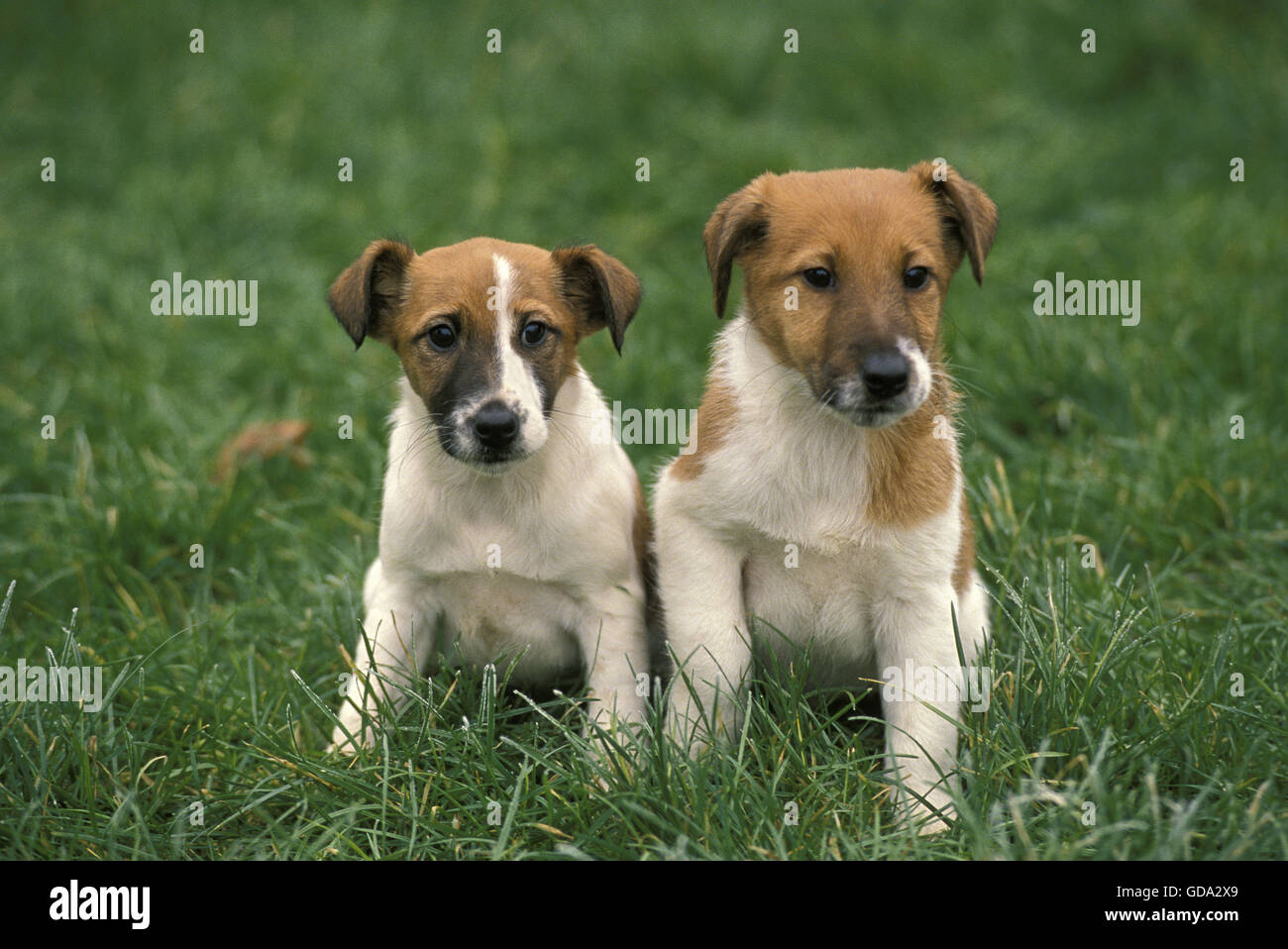 Smooth Fow Terrier Dog, Pup sitting on Grass - Stock Image