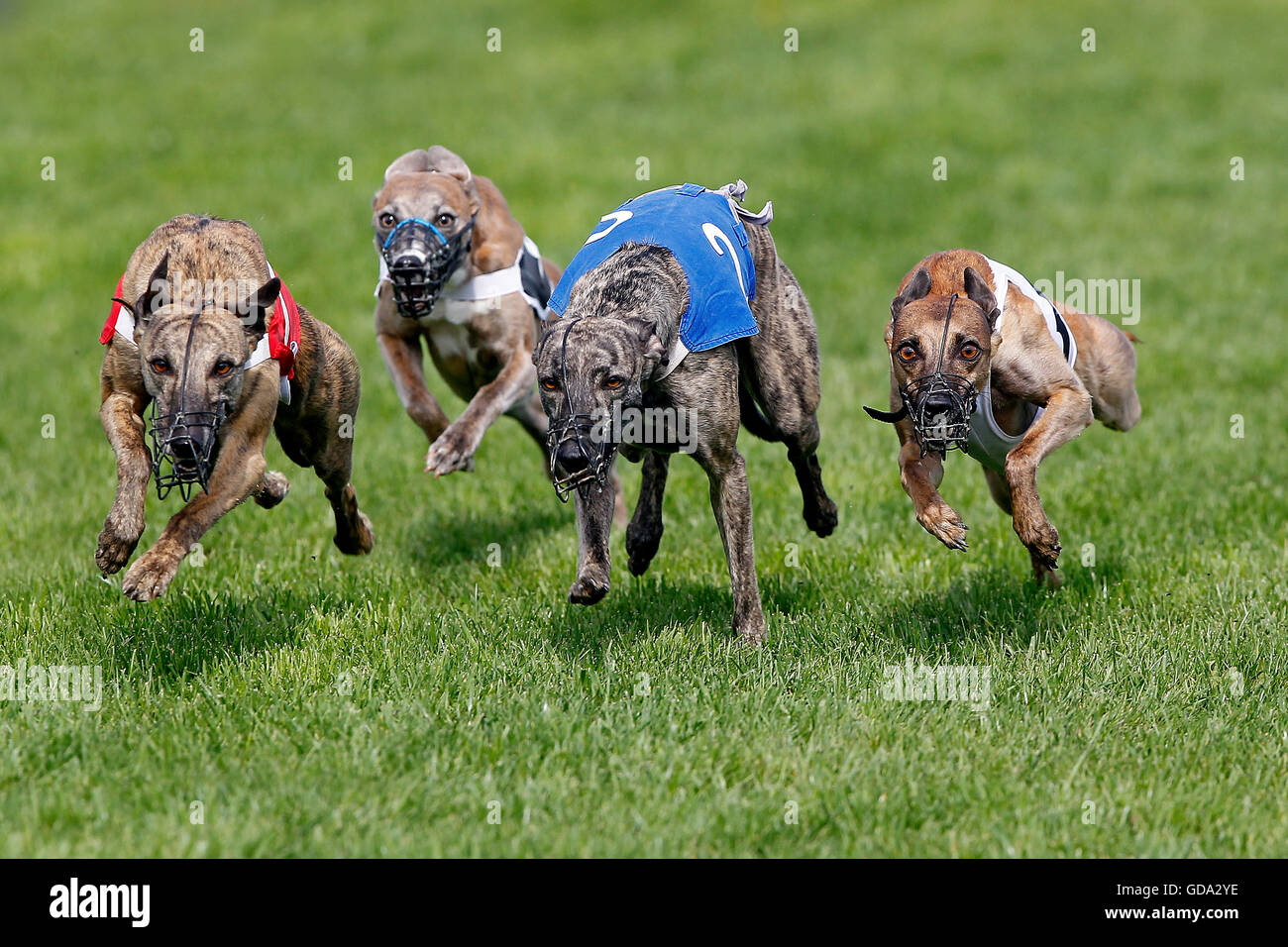 Whippet Dogs running, Racing at Track Stock Photo