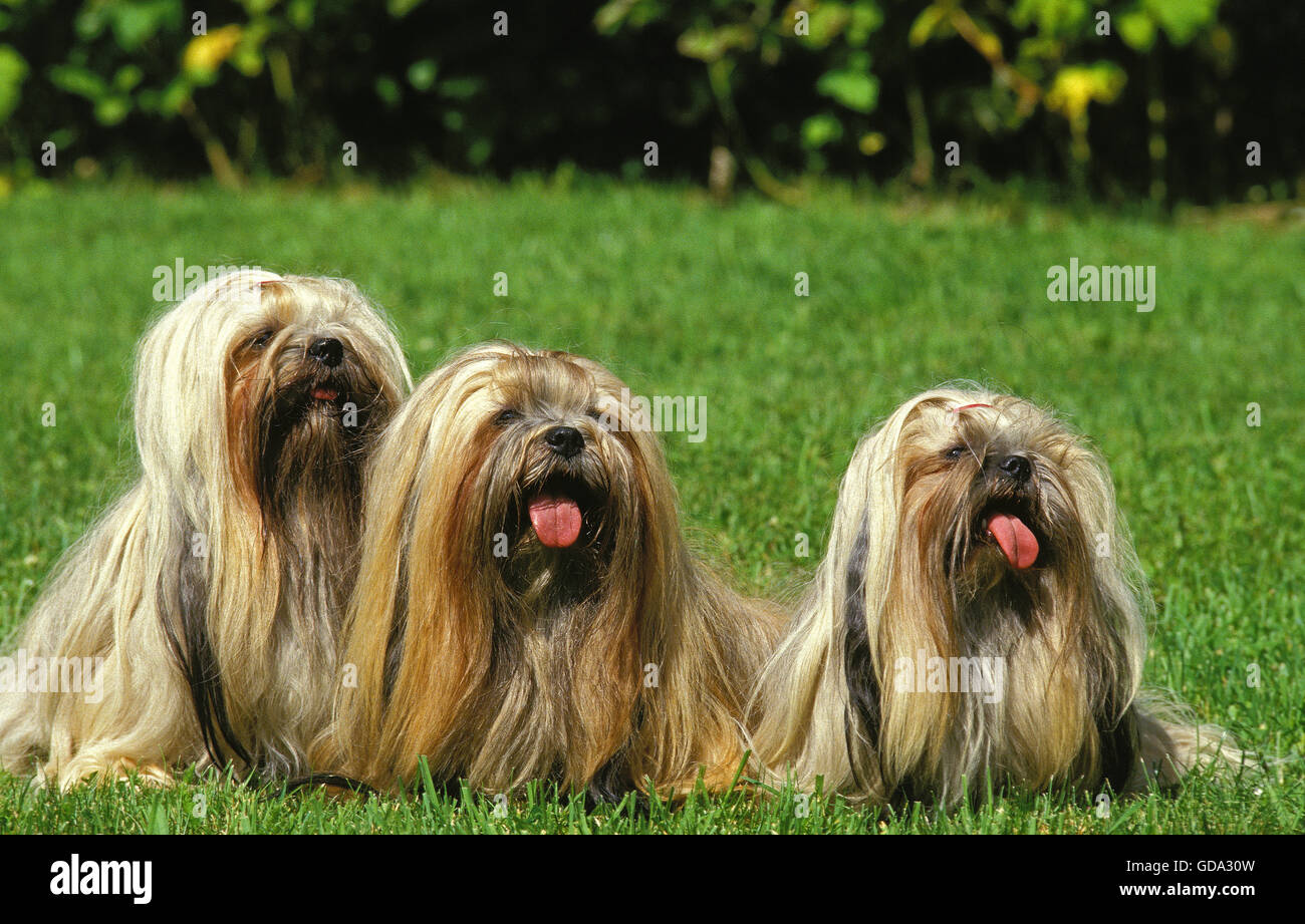 Lhassa Apso or Lhasa Apso, Group of Adult sitting on Grass with Tongue Out - Stock Image