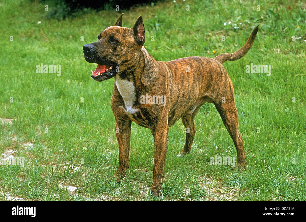 American Staffordshire Terrier (Old Standard Breed with Cut Ears), Dog on Grass - Stock Image