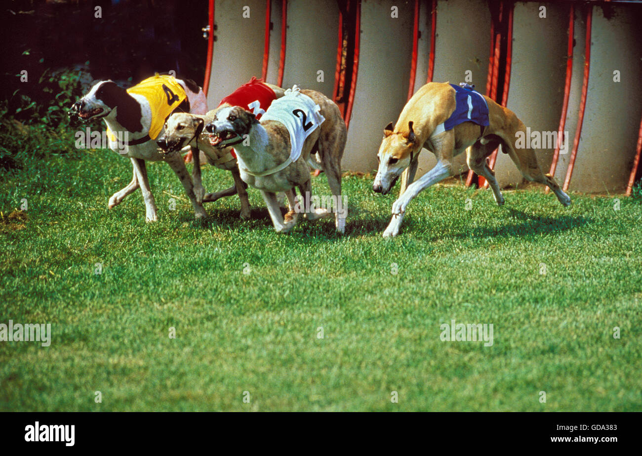 Greyhound Racing Stock Photos Amp Greyhound Racing Stock