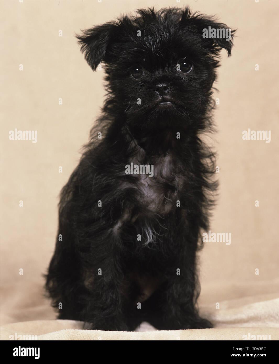 Affenpinscher Puppy Stock Photos Affenpinscher Puppy Stock Images