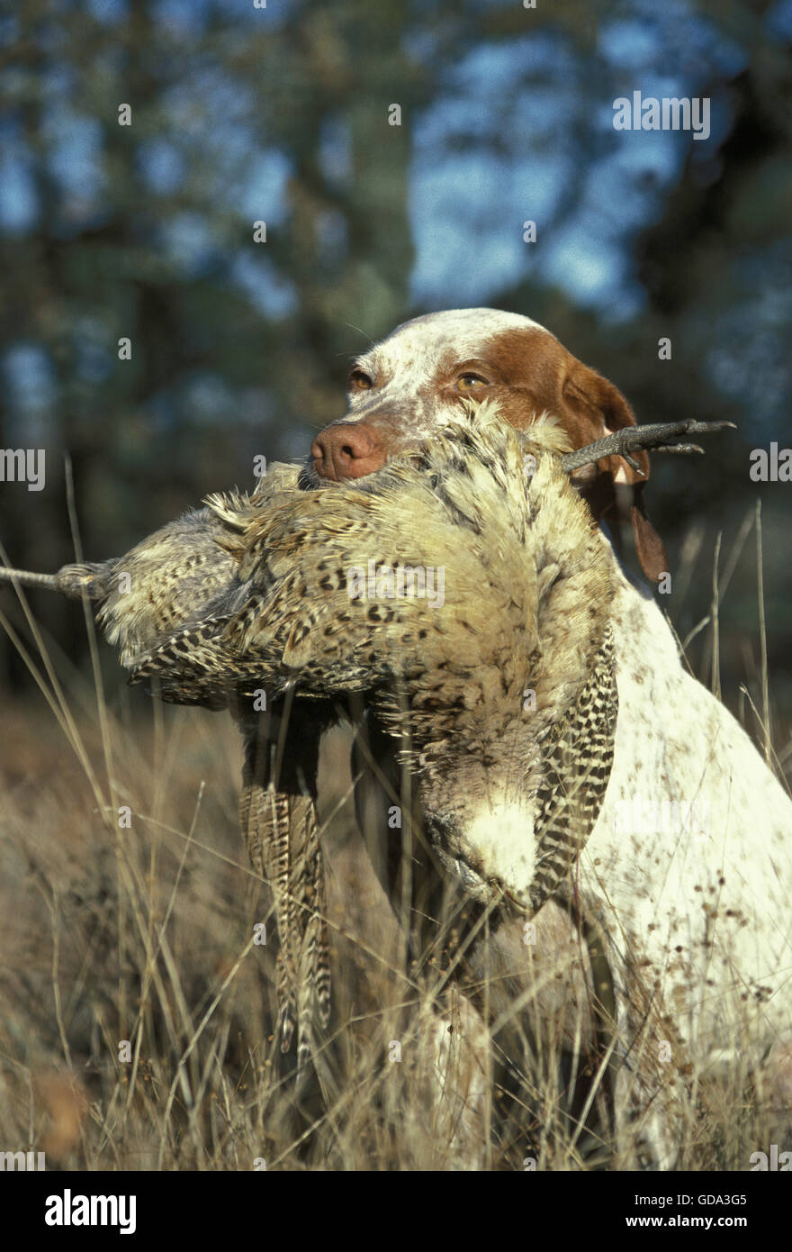 Bourdonnais Pointer Dog, Adult with Common Pheasant Female in  its mouth Stock Photo