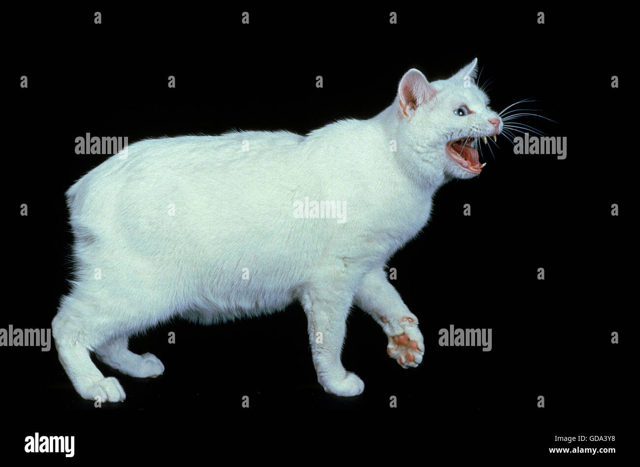 Manx Domestic Cat, Cat Breed without Tail, Adult Snarling against Black Background - Stock Image
