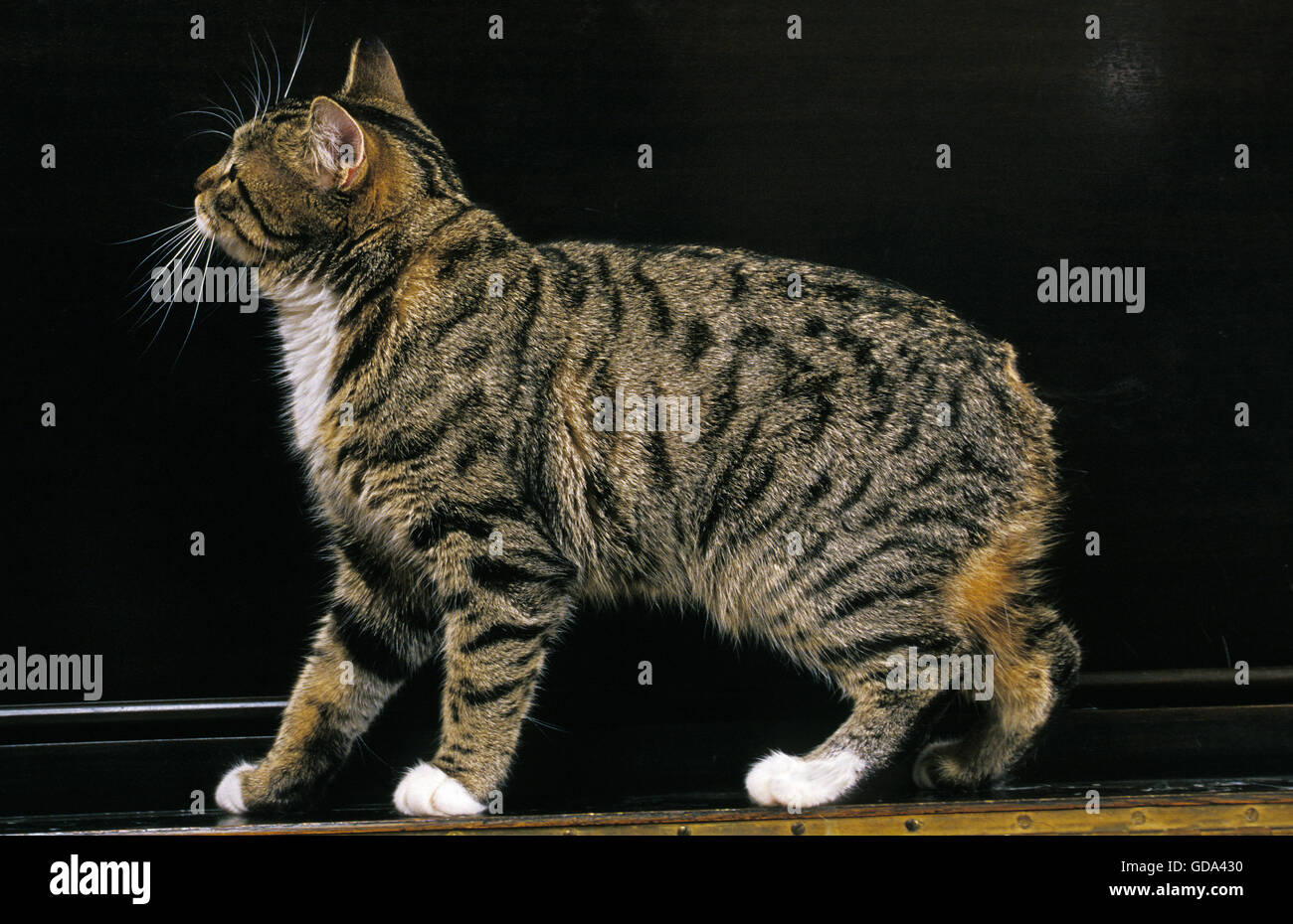 Manx Domestic Cat, Tailless Breed - Stock Image