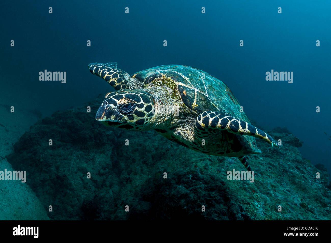 Hawksbill Sea Turtle, Eretmochelys imbricata, Cano Island, Drake Bay, Costa Rica - Stock Image