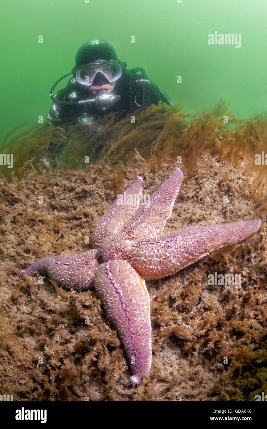 Scuba Diver and Common Starfish, Asterias rubens, Little Belt, Middelfart, Funen, Denmark - Stock Image