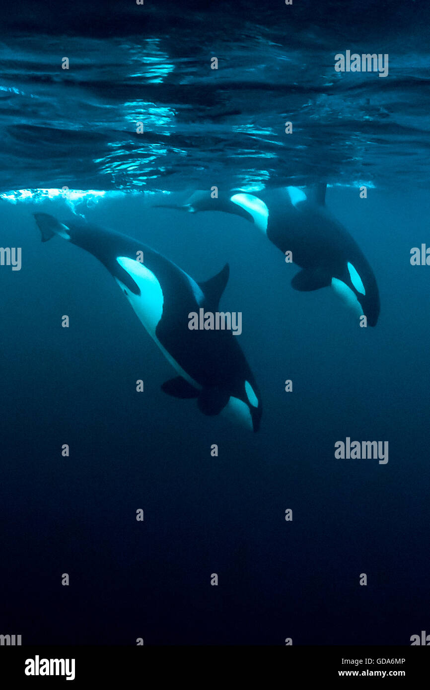 Two female Orca Killer Whales, Orcinus orca, Vesteralen, Norway - Stock Image