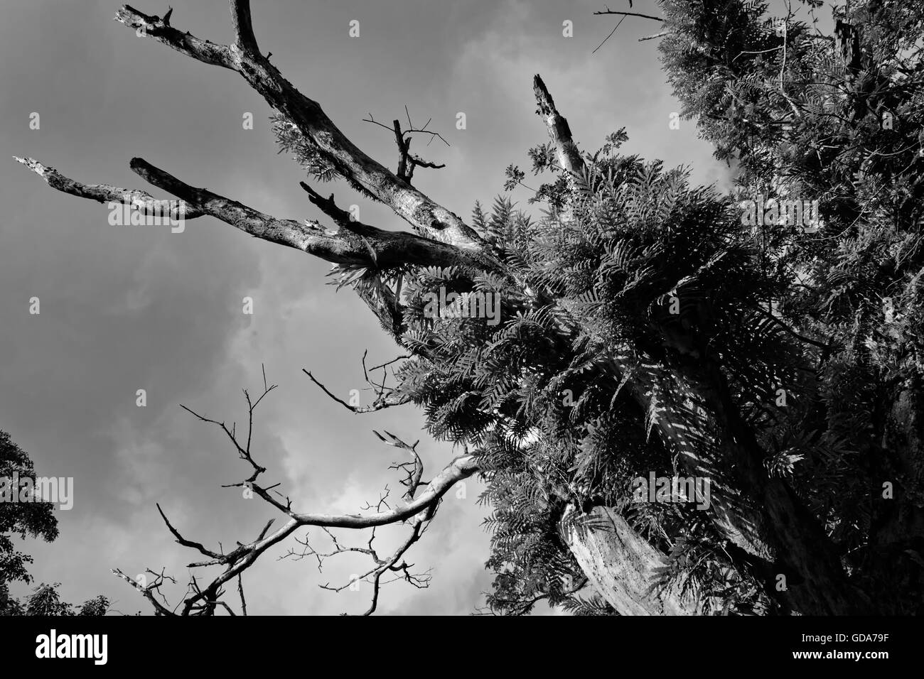 new leaves emerging from dead tree below overcast sky in black and white. - Stock Image