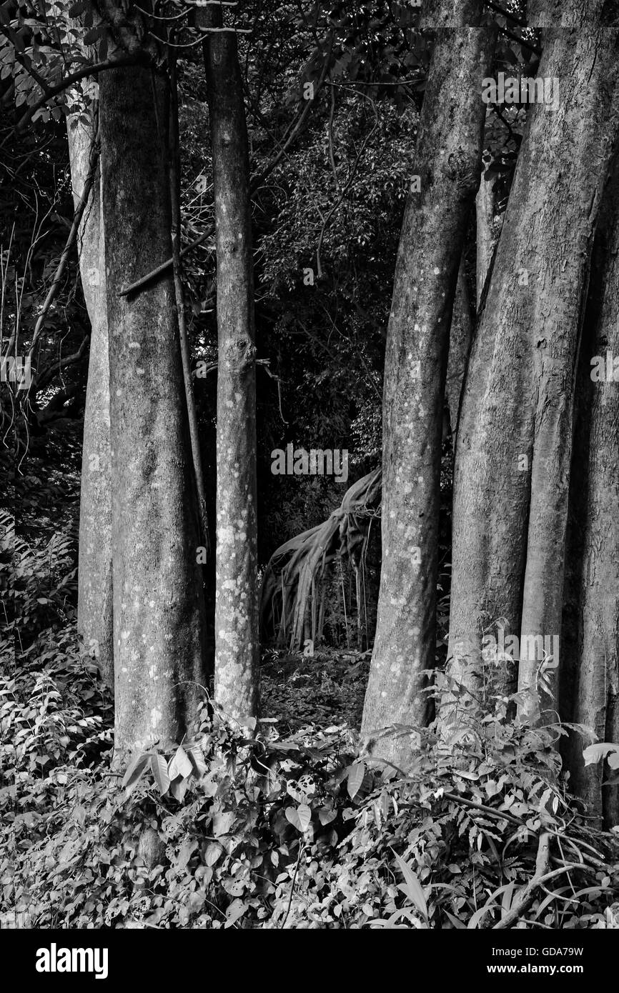 supporting roots of banyan tree in black and white. - Stock Image