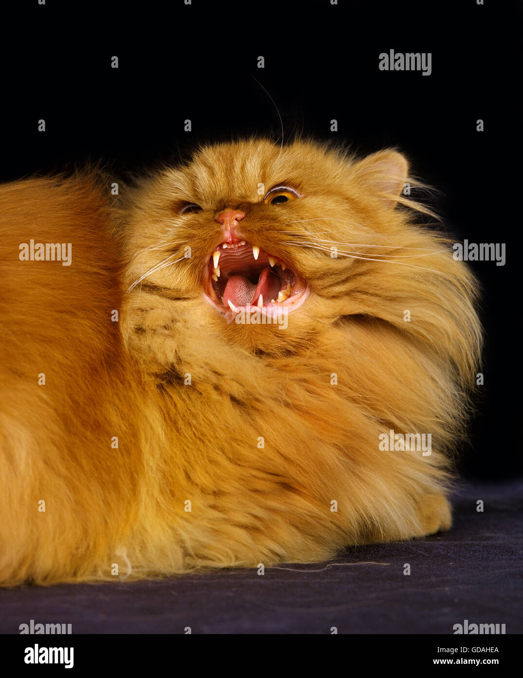 Red Persian Domestic Cat, Adult snarling - Stock Image