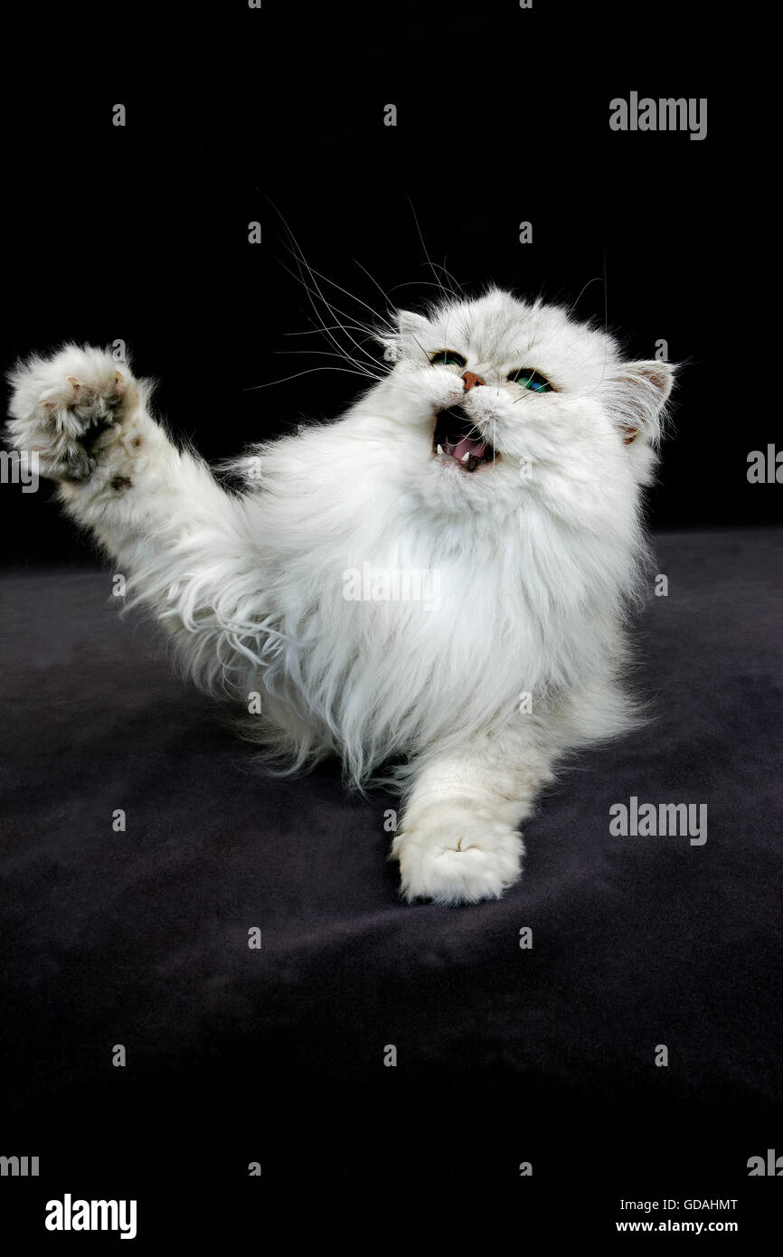 Chinchilla Persian Domestic Cat, Adult Snarling against Black Background - Stock Image