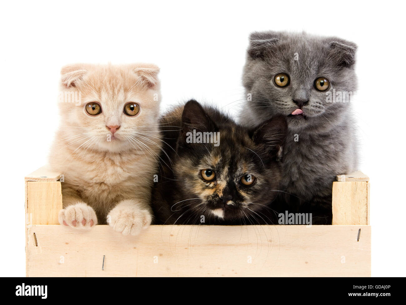BLACK TORTOISE-SHELL BRITISH SHORTHAIR WITH BLUE AND CREAM SCOTTISH FOLD KITTENS (2 MONTHS OLD), PLAYING IN BASKET - Stock Image