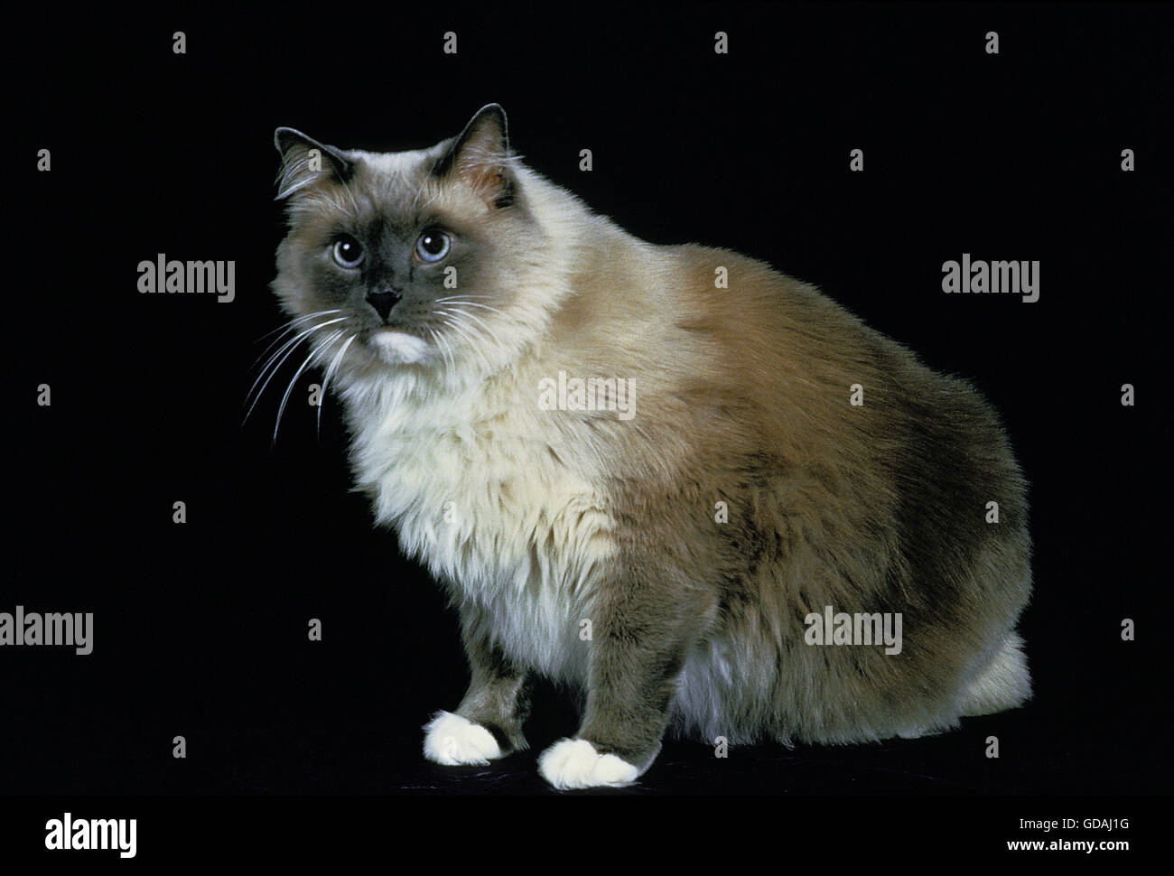 ragdoll domestic cat sitting against black background stock photo