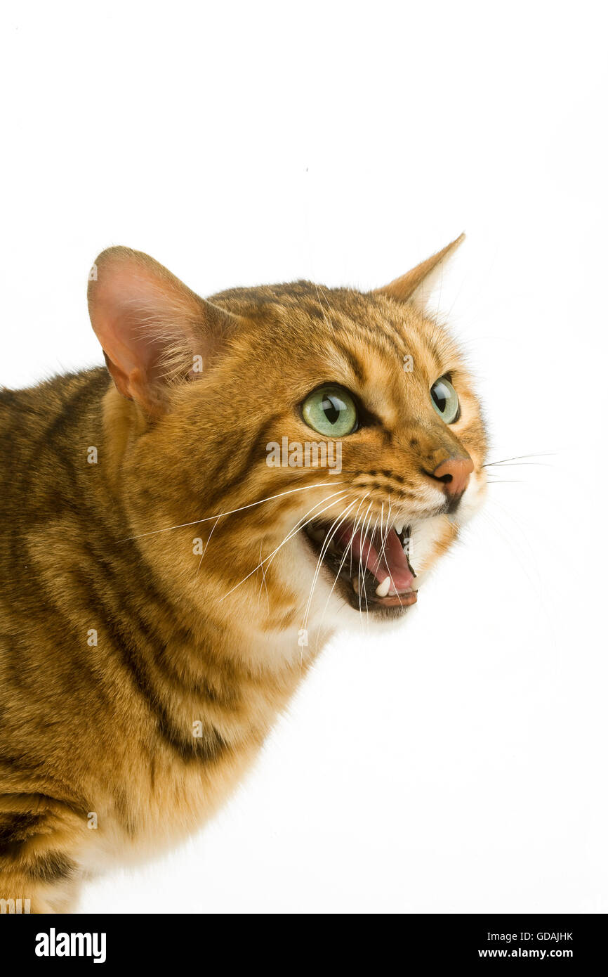 Brown Spotted Tabby Bengal Domestic Cat Snarling against White Background - Stock Image