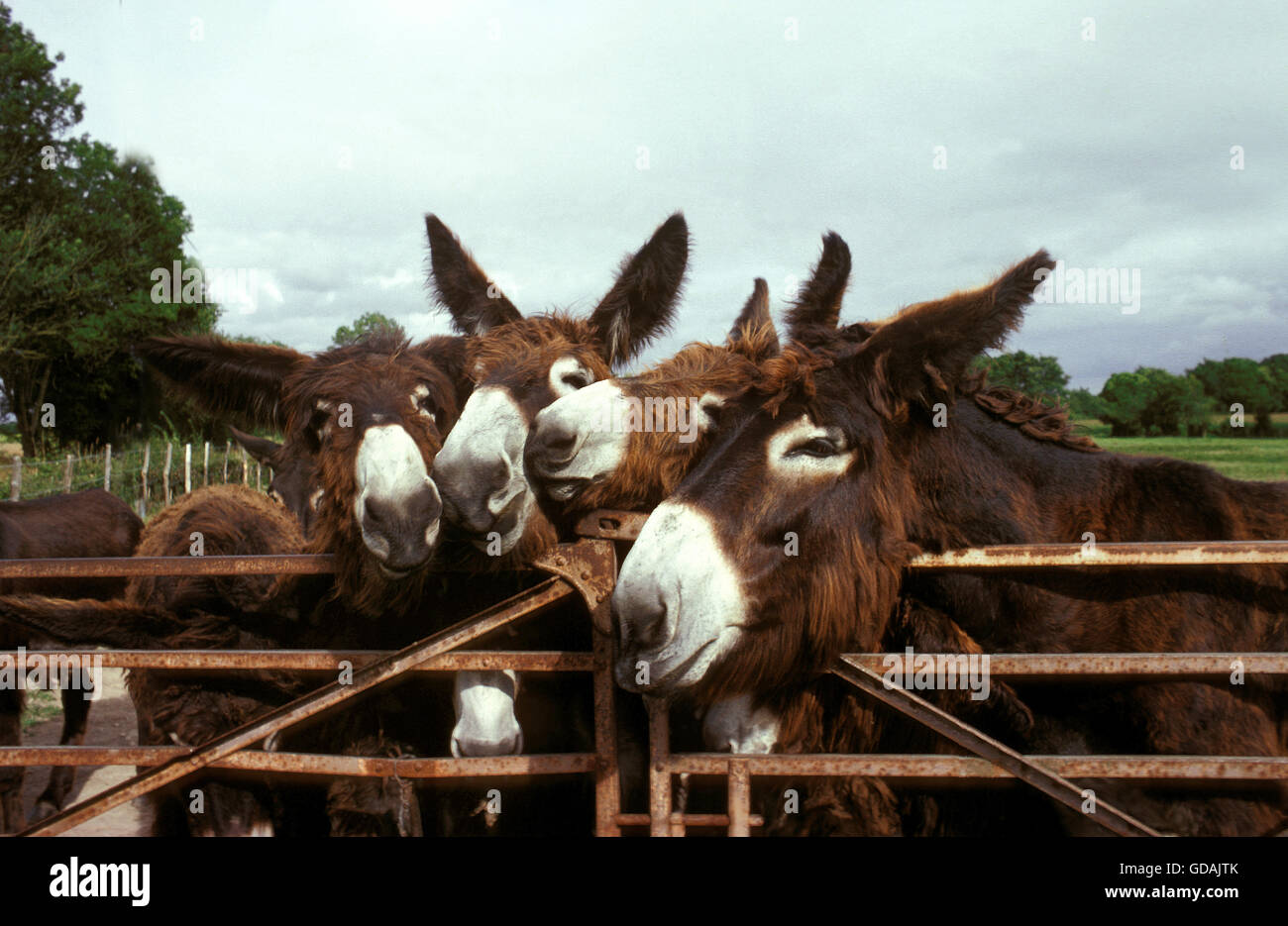 Poitou Donkey or Baudet du Poitou, a French Breed, Group at Paddock's Door - Stock Image